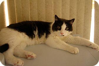 Domestic Shorthair Cat for adoption in Laguna Woods, California - Jacob