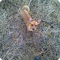 Adopt A Pet :: Buttercup - Chewelah, WA