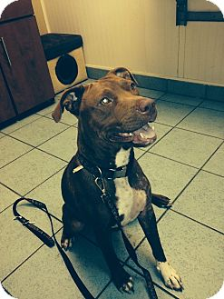 American Pit Bull Terrier Mix Dog for adoption in Houston, Texas - Maxie