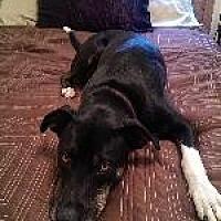 Labrador Retriever/American Staffordshire Terrier Mix Dog for adoption in Pt. Richmond, California - BOOTS