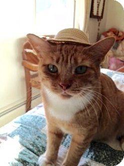 Domestic Shorthair Cat for adoption in Colmar, Pennsylvania - Carmella
