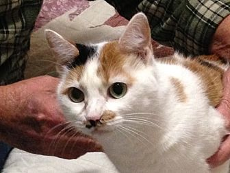 Calico Cat for adoption in Beaumont, Texas - Penny