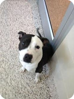 American Staffordshire Terrier Mix Dog for adoption in Aiken, South Carolina - Panda