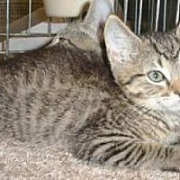 Adopt A Pet :: Hansel - Miami, FL