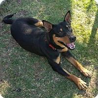 Adopt A Pet :: Ranger - McKinney, TX