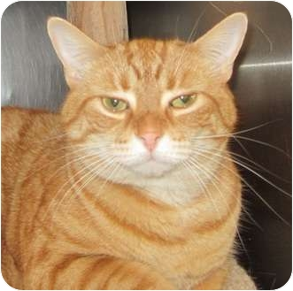 Domestic Shorthair Cat for adoption in Markham, Ontario - Taylor