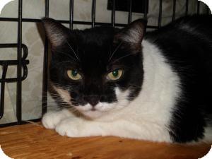 Domestic Shorthair Cat for adoption in Indian Rocks Beach, Florida - Bebe