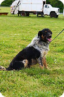 Border Collie/Blue Heeler Mix Dog for adoption in Linden, Tennessee - Rex