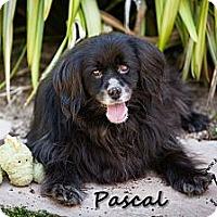 Adopt A Pet :: Pascal - Los Altos, CA