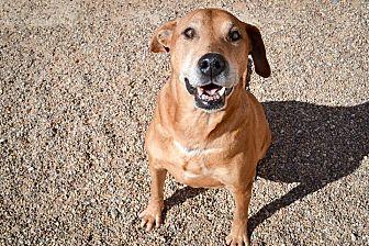 Labrador Retriever Mix Dog for adoption in Lubbock, Texas - Zeus