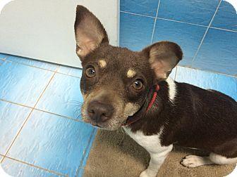 Rat Terrier Mix Dog for adoption in Hialeah, Florida - Sasha