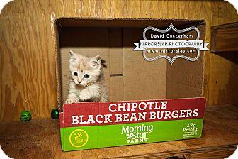 Domestic Shorthair Kitten for adoption in Monterey, Virginia - Owlette