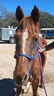Quarterhorse Mix for adoption in Hitchcock, Texas - Sarabi