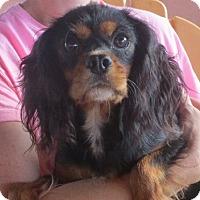 Adopt A Pet :: Ivy - Salem, NH