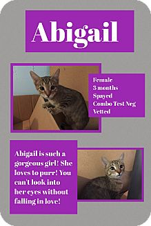 Domestic Shorthair Kitten for adoption in CLEVELAND, Ohio - Abigail
