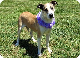 Shepherd (Unknown Type) Mix Dog for adoption in Lexington, North Carolina - LUCY