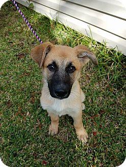 German Shepherd Dog Puppy for adoption in Plano, Texas - Bourbon