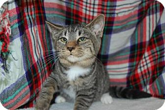 Domestic Shorthair Cat for adoption in South Haven, Michigan - Pete