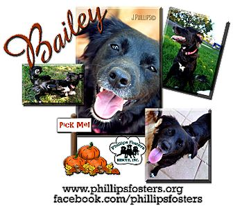 Flat-Coated Retriever/Shepherd (Unknown Type) Mix Puppy for adoption in Colleyville, Texas - Bailey