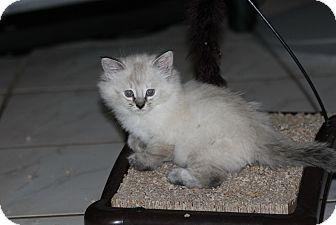 Siamese Kitten for adoption in Lighthouse Point, Florida - Sasha