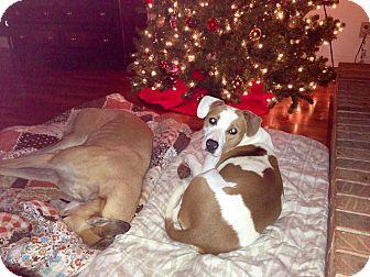 Labrador Retriever/Bulldog Mix Dog for adoption in Marietta, Georgia - Isabella