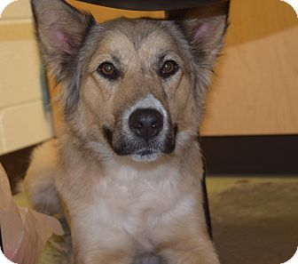 German Shepherd Dog/Collie Mix Dog for adoption in CHAMPAIGN, Illinois - BRYNN