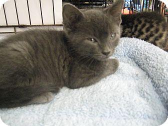 Russian Blue Kitten for adoption in New york, New York - russian Blue kitten and a sibl