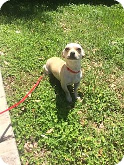 Chihuahua/French Bulldog Mix Dog for adoption in San Antonio, Texas - Jill