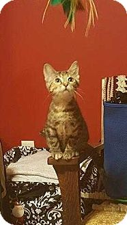 Domestic Shorthair Kitten for adoption in South Bend, Indiana - Chica