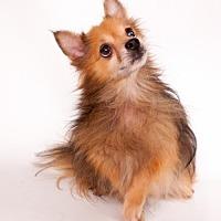 Pomeranian Dog for adoption in Elizabethtown, Pennsylvania - Poppy Lancaster
