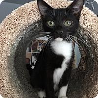 Adopt A Pet :: Faline - Colmar, PA