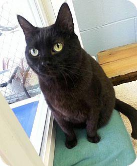 Domestic Shorthair Cat for adoption in Shinnston, West Virginia - Ebony