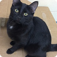 Domestic Shorthair Cat for adoption in Willmar, Minnesota - Diamond