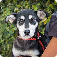 Adopt A Pet :: Reyna - Los Angeles, CA