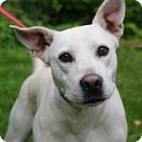 Adopt A Pet :: Rain - Chester Springs, PA