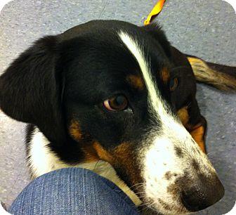 Basset Hound Mix Dog for adoption in Minnetonka, Minnesota - Jack