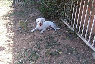 Terrier (Unknown Type, Small)/Maltese Mix Dog for adoption in Mesa, Arizona - Louis