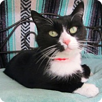 Domestic Shorthair Cat for adoption in Clearwater, Florida - Aria