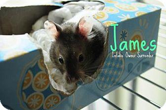 Hamster for adoption in Hamilton, Ontario - James