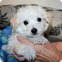 Adopt A Pet :: Teddy - Yorba Linda, CA