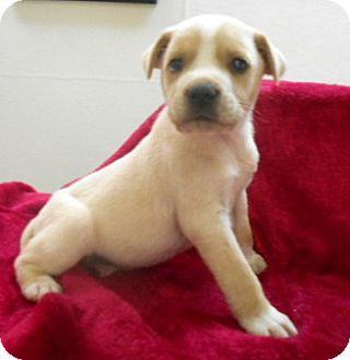 Labrador Retriever/Hound (Unknown Type) Mix Puppy for adoption in Allentown, New Jersey - Logan