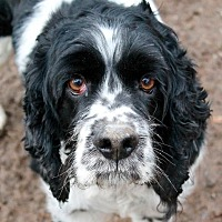 Cocker Spaniel Dog for adoption in Memphis, Tennessee - Matt