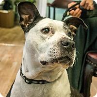 Adopt A Pet :: Shy - San Francisco, CA