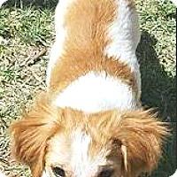 Adopt A Pet :: Devon - Boulder, CO