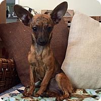 Adopt A Pet :: Felicity (BH) - Santa Ana, CA
