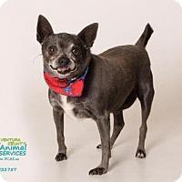 Adopt A Pet :: DAISY - Camarillo, CA