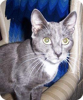 Domestic Shorthair Cat for adoption in Albany, New York - Bullwinkle