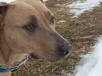 Pit Bull Terrier/Weimaraner Mix Dog for adoption in New Richmond,, Wisconsin - Ms. Blue