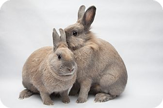 Lionhead Mix for adoption in Los Angeles, California - Chrysanthe & Artemisia