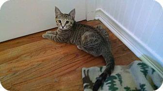 Domestic Shorthair Kitten for adoption in Davison, Michigan - Billie Girl